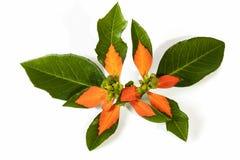 Hojas pintadas salvajes verdes y rojas de la planta de la poinsetia Foto de archivo libre de regalías