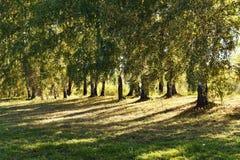 Hojas que amarillean de los árboles de abedul en el día del otoño del prado Imagen de archivo