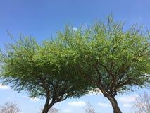 Hojas que brotan de fondo de los árboles Imagen de archivo libre de regalías