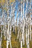 Hojas que caen apagado bosque raspado blanco del árbol Fotografía de archivo