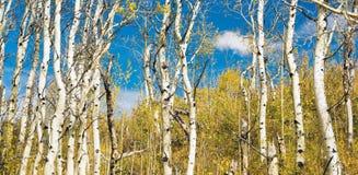 Hojas que caen apagado bosque raspado blanco del árbol Fotos de archivo libres de regalías