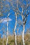 Hojas que caen apagado bosque raspado blanco del árbol Fotografía de archivo libre de regalías