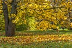 Hojas que caen de Autumn Tree Fotografía de archivo