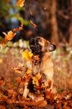 Hojas que caen de cogida del perro de Leonberger Imagen de archivo