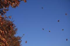 Hojas que caen del otoño Fotos de archivo libres de regalías