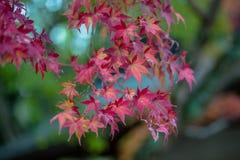 Hojas que cambian colores en Japón fotos de archivo