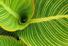 Hojas rayadas del Cannaceae (Canna) Fotografía de archivo