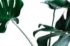 Hojas reales del monstera que adornan para el diseño de la composición Tropical, imagenes de archivo