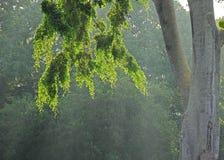 Hojas retroiluminadas del árbol Imagen de archivo