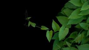 Hojas rizadas verdes en forma de corazón con los zarcillos de la vid coralina o Foto de archivo libre de regalías