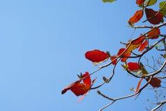 Hojas rojas Fotos de archivo