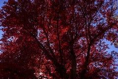 Hojas rojas Imagenes de archivo