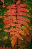Hojas rojas Foto de archivo libre de regalías