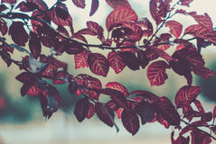 Hojas rojas Foto de archivo