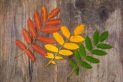 Hojas rojas, amarillas y verdes del serbal que mienten diagonalmente en una madera Imágenes de archivo libres de regalías