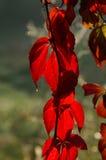 Hojas rojas con la gota chispeante (zoom) Foto de archivo libre de regalías