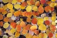 Hojas rojas de Aspen Imagenes de archivo