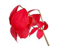 Hojas rojas de la caída de una zarza ardiente aislada en blanco Foto de archivo