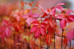 Hojas rojas de la enredadera de Virginia del otoño Foto de archivo libre de regalías