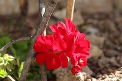 Hojas rojas de la hiedra de la flor del geranio Imagen de archivo