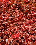 Hojas rojas de la hiedra del otoño Fotos de archivo libres de regalías