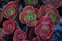 Hojas rojas de la planta Fotos de archivo libres de regalías