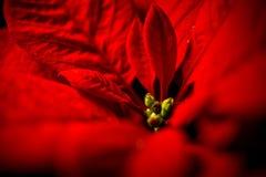 Hojas rojas de la poinsetia contra fondo negro Fotografía de archivo