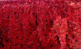 Hojas rojas de la vid Foto de archivo