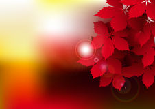 Hojas rojas de la vid Fotos de archivo