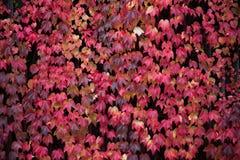 Hojas rojas de la vid, colores del otoño Fotografía de archivo libre de regalías