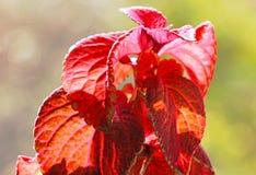 Hojas rojas de los scutellarioides del Solenostemon foto de archivo libre de regalías