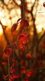 Hojas rojas de un árbol pardo en los rayos del sol poniente imagen de archivo