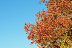 Hojas rojas de un cerezo salvaje imagenes de archivo