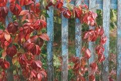 Hojas rojas de uvas salvajes en la cerca de madera imagen de archivo libre de regalías