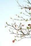 Hojas rojas del árbol de la mar-almendra Fotos de archivo libres de regalías