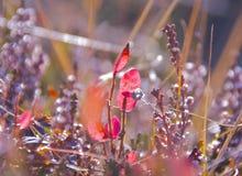 Hojas rojas del arándano Imagen de archivo libre de regalías