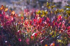Hojas rojas del arándano Fotografía de archivo libre de regalías