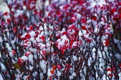Hojas rojas del bérbero cubiertas con la nieve blanca imagenes de archivo