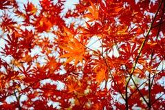 Hojas rojas del mapple en fondo del cielo azul Foto de archivo libre de regalías