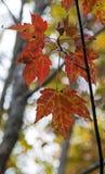 Hojas rojas del otoño Imágenes de archivo libres de regalías
