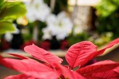 Hojas rojas del poinsettia Fotografía de archivo libre de regalías