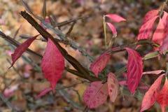 Hojas rojas del rosa en la crema Imagen de archivo libre de regalías