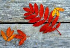 Hojas rojas del serbal Foto de archivo libre de regalías