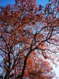 Hojas rojas del tiempo de primavera con el fondo del cielo azul imagenes de archivo