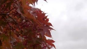 Hojas rojas en árbol en la estación del otoño metrajes