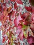 Hojas rojas especiales del otoño en Israel fotos de archivo