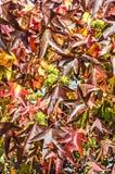Hojas rojas, frutas de punta imagenes de archivo