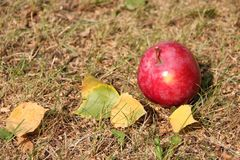 Hojas rojas grandes de la manzana y de otoño en la hierba Fotos de archivo libres de regalías