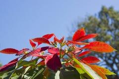 Hojas rojas superiores del árbol de navidad en el parque imagen de archivo