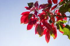 Hojas rojas superiores del árbol de navidad en el parque imagenes de archivo